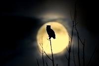 月夜のアメリカワシミミズク