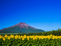 山梨県 花の都公園 ヒマワリと富士山