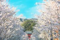 神奈川県 鎌倉市 鶴岡八幡宮 段葛の桜