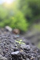 静岡県 富士山麓 砂地に芽吹く若葉