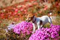 芝桜とジャックラッセルテリア