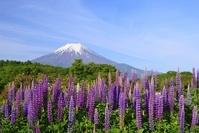 山梨県 忍野村のルピナスと富士山