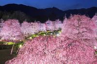 三重県 鈴鹿の森庭園 しだれ梅ライトアップと鈴鹿山脈夕景