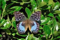 蝶 標本 ボカシタテハ