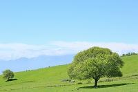 山梨県 八ヶ岳牧場 新緑のヤマナシの木
