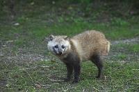 山口県 巌流島の野生の狸