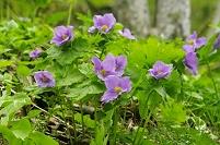 花咲くシラネアオイ