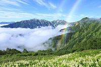 長野県 北アルプス 種池山荘付近より見るコバイケソウと雲海の...