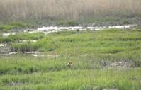 北海道 湿原で子育て中のキタキツネ