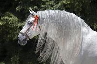アンダルシア馬