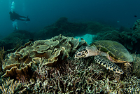 タイマイ サンゴ