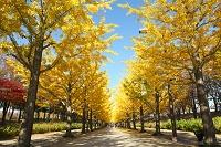 福島県 あづま総合運動公園 イチョウ並木の黄葉