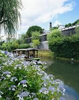 京都府 紫陽花の伏見港跡運河