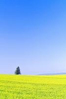 北海道 緑の小麦畑の丘と一本の木