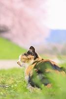 野良猫と桜並木