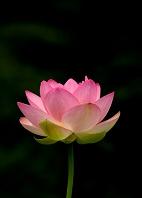 暗い緑葉を背景にした一輪の蓮の花