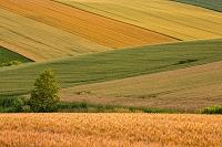 北海道 美瑛の丘 麦畑