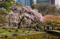 東京都 小石川後楽園の桜