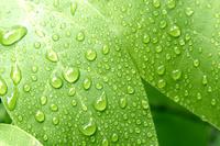 新緑の葉に雨の雫