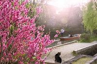 福岡県 柳川川下りと花桃咲く水辺の散歩道