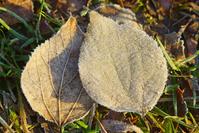 霜の付いた葉っぱ