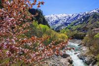 山形県 ヤマザクラ咲く新緑の玉川より飯豊連峰