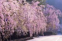 秋田県 角館武家屋敷 樺細工伝承館の枝垂桜