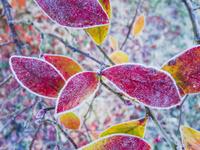 霜に覆われる紅葉
