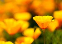 複数の花菱草