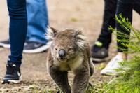 オーストラリア ケネットリバーの野生のコアラ
