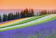 北海道 中富良野 ファーム富田の彩りの畑