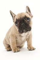 フレンチブルドッグ 座っている仔犬
