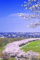 岩手県 桜の咲く北上展勝地