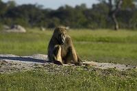 ジンバブエ ワンゲ国立公園 チャクマヒヒ