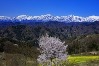 長野県 桜と菜の花と北アルプス(爺ヶ岳と鹿島槍ヶ岳と五竜岳)
