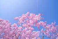 桜のイメージ 満開