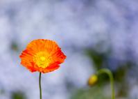 オレンジ色のポピー