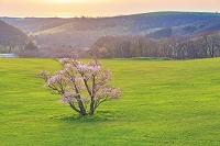 北海道 室蘭市 崎守町の一本桜