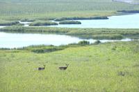 北海道  湿地帯のエゾシカ