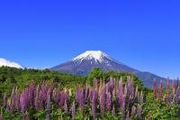 山梨県 残雪の富士山とルピナスの花畑