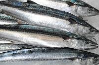 サワラの魚