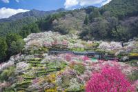 高知県 上久喜の花桃の郷