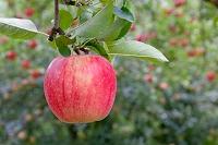 リンゴ 陽光