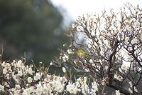 早春の梅の花とメジロ