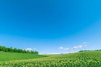 北海道 美瑛町 緑鮮やかなジャガイモ畑