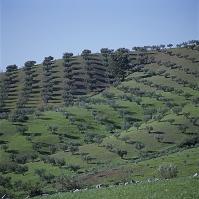 アンダルシア州グラナダのオリーブ畑