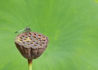 塩辛蜻蛉と蓮の花托