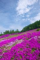 北海道 芝ざくら 芝ざくら滝上公園