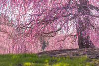 鈴鹿の森庭園 満開の枝垂れ梅 春