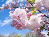 八重桜 日暮